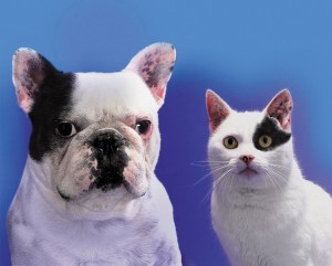 French Bulldog & black & white cat side by side 413085